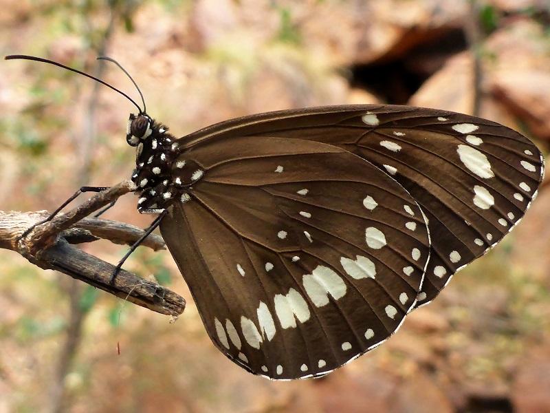 black rock falls butterfly