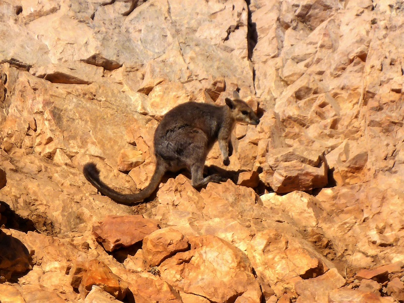 lake argyle rock wallaby