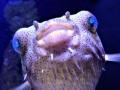 aqua broome pufferfish