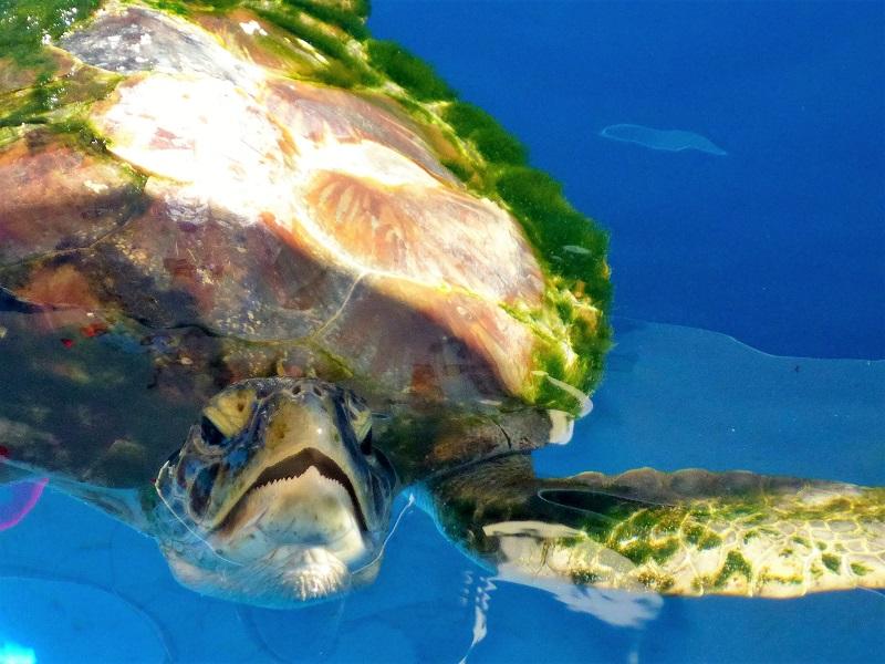 aqua broome turtle