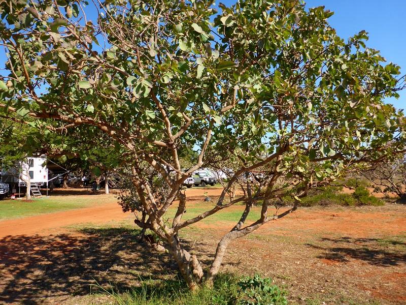 barn hill terminalia ferdinandiana gubinge tree