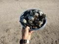 cape keraudren oysters