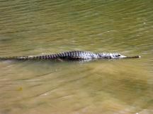 crocodile windjana gorge