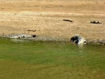 fresh water crocodiles windjana gorge
