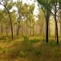 morning forest near king edward river camp