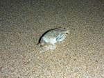 quondong beach sand crab