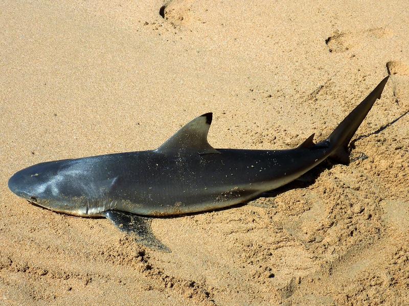 shark near middle lagoon
