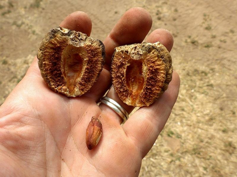 Terminalia cunninghamii open nut