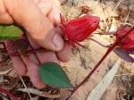 wild rosella (hibiscus)