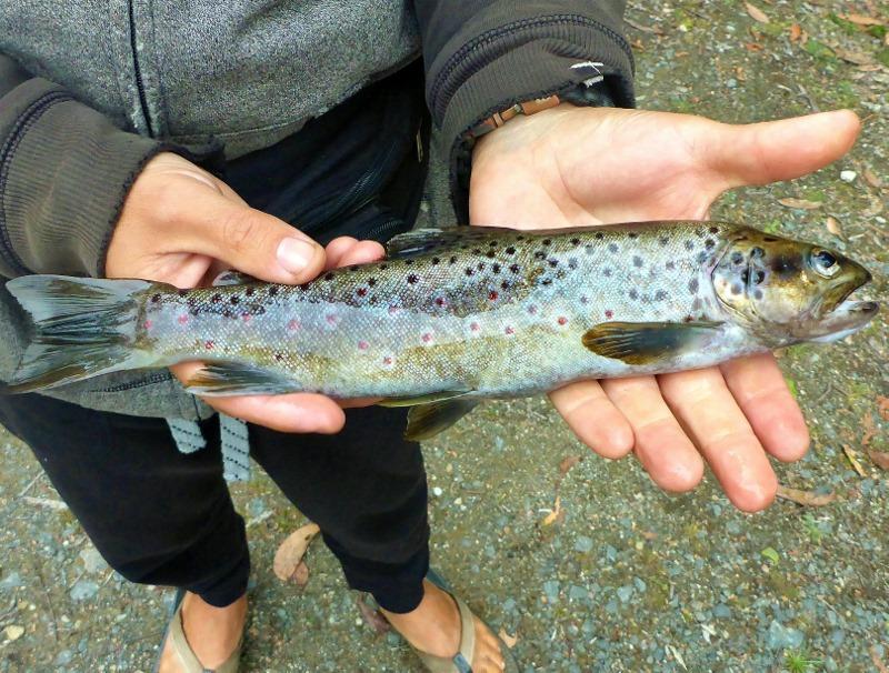 closeup trout tahune huon river