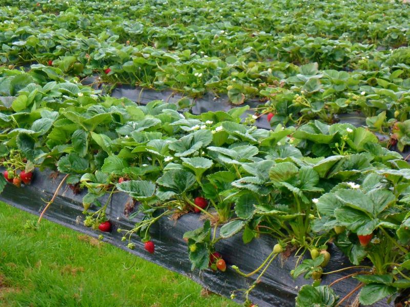 turners beach berry farm strawberries