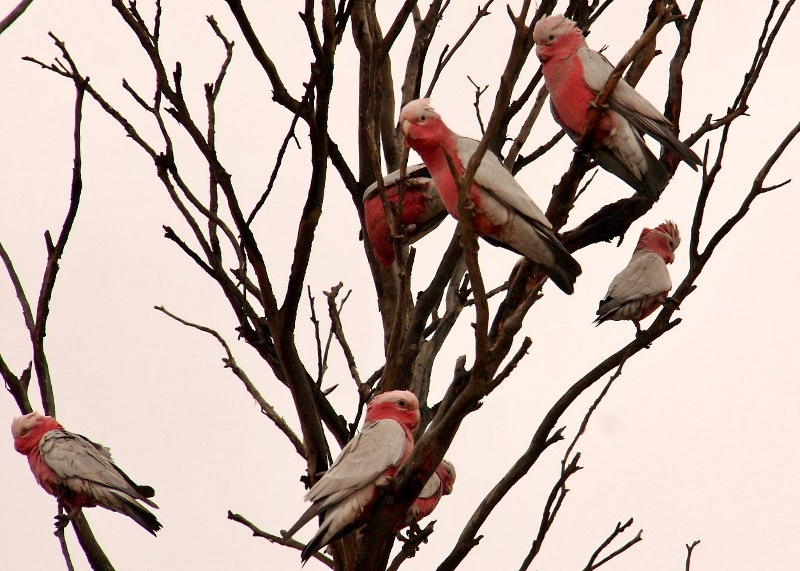 nullarbor nundroo pink and grey galahs