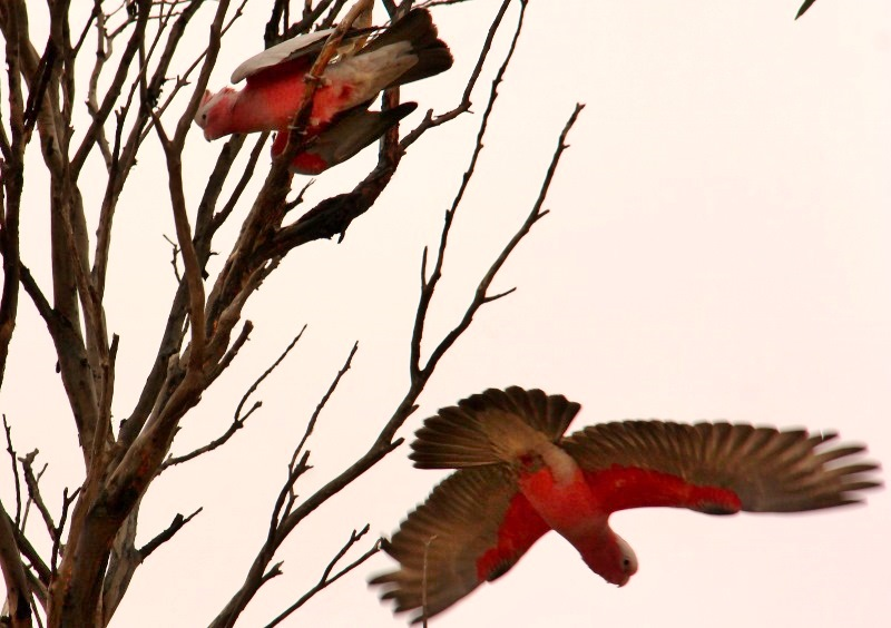 nundroo pink and grey galahs