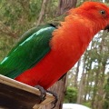 king parrot on tailgate