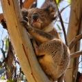 koala near kennet river