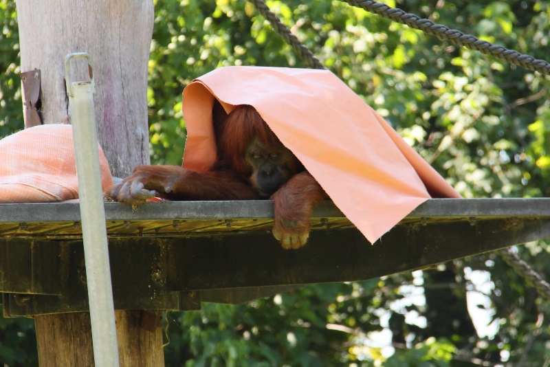 orangutan melbourne zoo