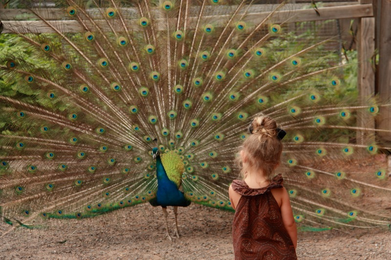 peacock at collingwood childrens farm