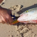 removing lure from salmon