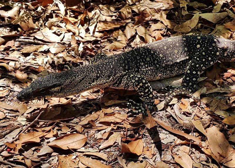 lace monitor lizard fraser island