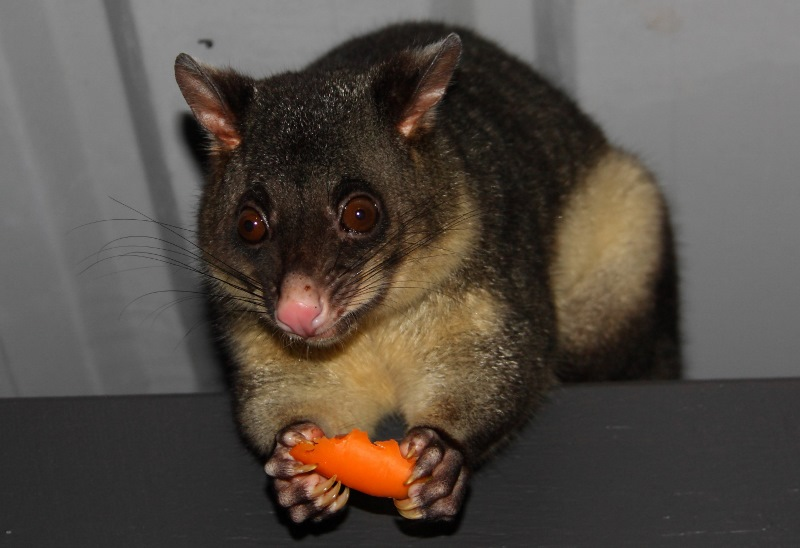 possum eating carrot