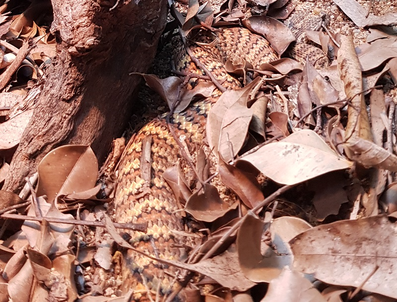 death adder in leaves